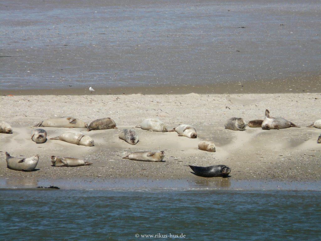 Seehunde sind zu betrachten auf der Fahrt nach Baltrum